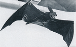 Nostradamus - Giant Bat 01, Pictorial Book of Godzilla p137.png