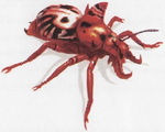 Ornate carrion beetle.png